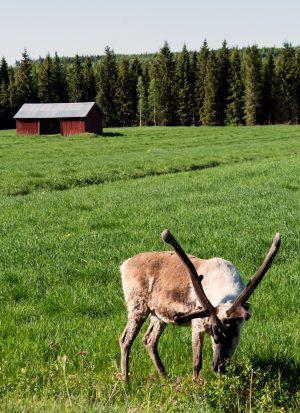 Santa Claus' reindeer in summer holidays in Lapland