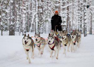 Husky dog safari at the Arctic Circle in Rovaniemi in Lapland