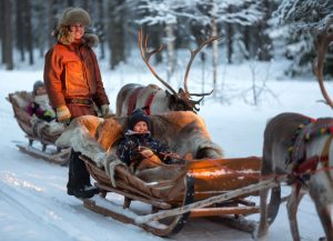 Reindeer ride in Rovaniemi in Lapland at the end of winter