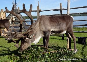 Reindeer at the Old Time Market of Rovaniemi in Lapland