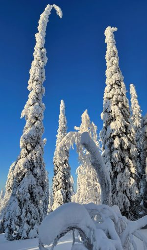 Snowy trees in Salla in Finnish Lapland in the middle of nowhere