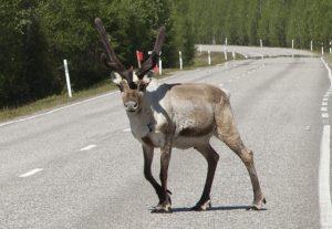 Un renne du Père Noël traversant la route à Rovaniemi en Laponie