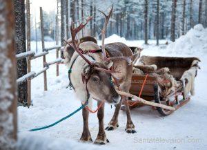 Rentiere des Weihnachtsmannes mit einem Schlitten in Lappland, Finnland