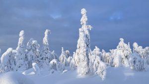 Snowy trees in Salla, Lapland
