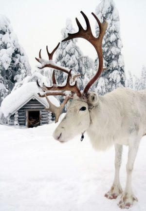 Una renna bianca di Babbo Natale in Lapponia