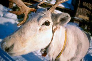 Renna di Babbo Natale vicino in Lapponia