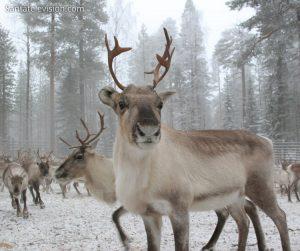 Rennes en Laponie, Finlande