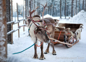 Los renos de Papá Noel Santa Claus con un trineo en Laponia, Finlandia