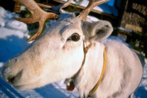 Un reno blanco de Papá Noel / Santa Claus en Laponia, Finlandia