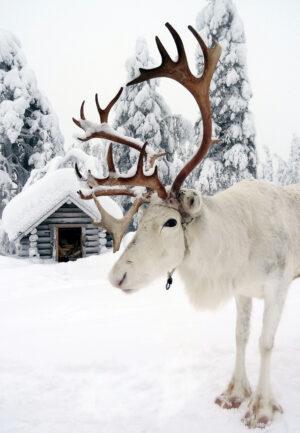 Uno de los Renos de Papá Noel Santa Claus en la Laponia finlandesa
