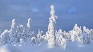 Arbres couverts de neige à Salla en Laponie finlandaise