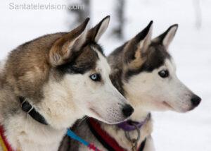 Des chiens husky au Village du Père Noël à Rovaniemi en Laponie finlandaise