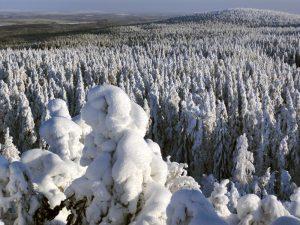 Des arbres enneigés dans les collines d'Ounasvaara à Rovaniemi en Laponie finlandaise