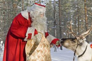 Le renne du Père Noël mangeant du lichen