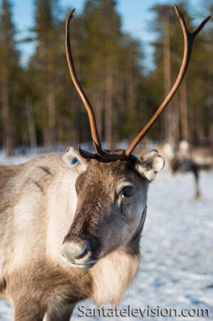 Renne femelle à Rovaniemi, Laponie finlandaise