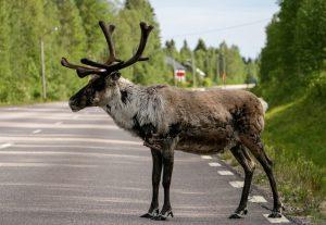 Un renne sur la route en été en Laponie finlandaise