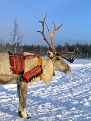 Un renne du Père Noël à Rovaniemi, en Laponie finlandaise